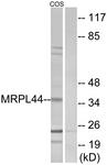 C14080-1 - MRPL44