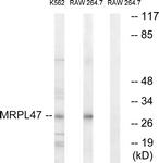 C14083-1 - MRPL47