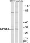 C14121-1 - RPS4X
