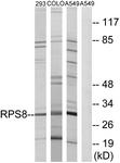 C14126-1 - RPS8