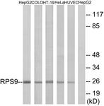 C14127-1 - RPS9