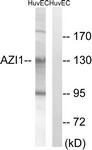 C14137-1 - CEP131 / AZI1
