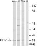 C14146-1 - RPL10L