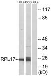 C14153-1 - RPL17