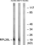 C14163-1 - RPL26L1
