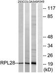 C14166-1 - RPL28