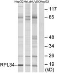 C14172-1 - RPL34