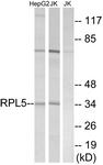 C14187-1 - RPL5
