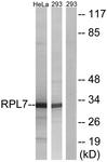 C14189-1 - RPL7