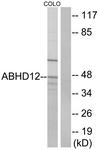 C14209-1 - ABHD12