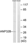 C14238-1 - ANP32B