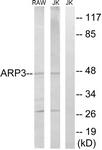 C14244-1 - ACTR3