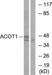 C14268-1 - ACOT1 / CTE1