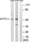 C14281-1 - LPCAT2 / AYTL1