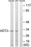 C14334-1 - SLC25A6 / ANT3