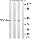 C14429-1 - SGCA (Alpha-sarcoglycan)
