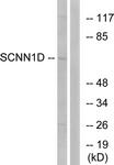 C14438-1 - ENAC delta / SCNN1D