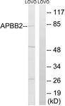 C14453-1 - APBB2 / FE65L
