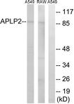 C14458-1 - APPL2 / APLP2
