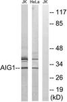 C14468-1 - AIG1