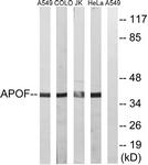 C14533-1 - Apolipoprotein F / Apo F