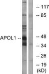 C14539-1 - Apolipoprotein L1 (Apo L1)