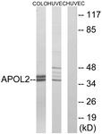 C14540-1 - Apolipoprotein L2 / APOL2