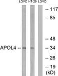 C14542-1 - Apolipoprotein L4 / ApoL4
