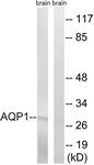 C14546-1 - Aquaporin-1 / AQP1