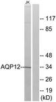 C14549-1 - Aquaporin-12A / AQP12A