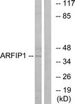 C14558-1 - Arfaptin-1