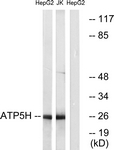 C14591-1 - ATP synthase subunit d