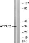 C14600-1 - ATPAF2 / ATP12