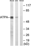 C14602-1 - ATP synthase subunit alpha