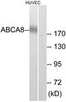C14617-1 - ABCA8