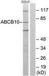 C14619-1 - ABCB10