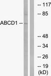 C14624-1 - ABCD1 / ALDP