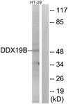 C14648-1 - DDX19B