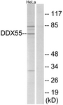 C14658-1 - DDX55