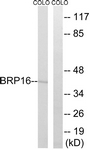 C14779-1 - Brain protein 16