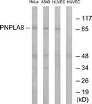 C14856-1 - PNPLA8