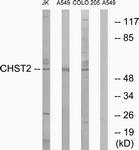 C14925-1 - CHST2