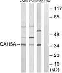 C14941-1 - Carbonic anhydrase 5A
