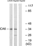 C14943-1 - Carbonic anhydrase 6