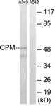 C14962-1 - Carboxypeptidase M