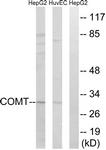C14991-1 - COMT