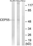 C15043-1 - CEP55