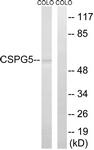 C15097-1 - Neuroglycan C