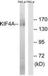 C15124-1 - KIF4A
