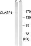 C15168-1 - CLASP1